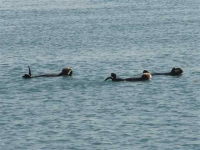 zee-otters genieten van de zon