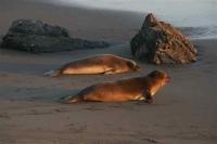 zee-leeuwen op weg naar zee